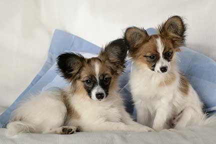 Papillon Puppies